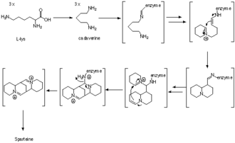 Sparteine - Figure 2.Biosynthesis of sparteine showing proposed ring cyclization steps