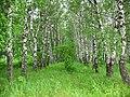 Birch IMG 3421 1280.jpg