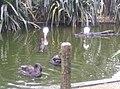 Birds in Zoo Negara Malaysia (3).jpg