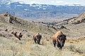 Bison migrating out of the Gardiner Basin (43060593265).jpg