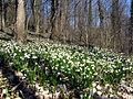 Blühende Märzenbecher am Honigbuck im Freiburger Mooswald 2.jpg