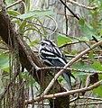Black-and-white Warbler (Mniotilta varia), in Corkscrew Swamp Sanctuary.jpg
