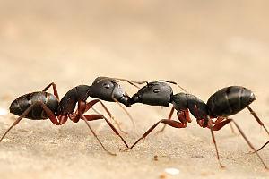 Trophallaxis - Trophallaxis in Camponotus sp.
