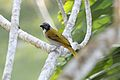 Black-headed Saltator (Saltator atriceps) (7223108982).jpg