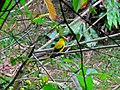 Black-naped Oriole Oriolus chinensis (6970036586).jpg