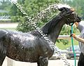 Black Egyptian Arabian Filly Getting a Bath (Nahkda Nera) (2661118216).jpg