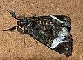 Black Panther Moth (Lophonotidia nocturna) (11648435914).jpg