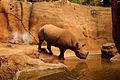 Black Rhino checking out the water (4565238482).jpg