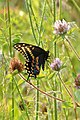Black Swallowtail (Papilio polyxenes) (37594212352).jpg
