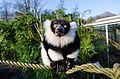 Black and white Ruffed Lemur (24427478083).jpg