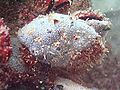 Black sea fauna blue sponge.jpg