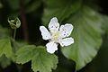 Blackberry flower.jpg