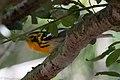 Blackburnian Warbler (male) Smith Oaks High Island TX 2018-04-27 12-12-09 (41479593344).jpg