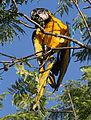 Blue-and-yellow Macaw - Guacamayo azul y amarillo (Ara ararauna) (15701309606).jpg