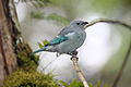 Blue-gray Tanager (Thraupis episcopus urubambae) (4856375693).jpg