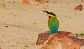 Blue-tailed bee-eater of West Bengal.jpg