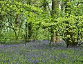 Bluebell Wood - geograph.org.uk - 1530317.jpg