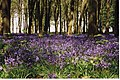 Bluebell woods, Badbury Hill - geograph.org.uk - 1777345.jpg