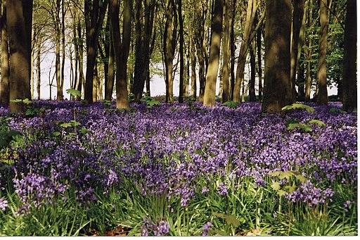 Bluebell woods, Badbury Hill - geograph.org.uk - 1777345