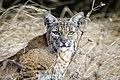 Bobcat - Flickr - Becky Matsubara.jpg