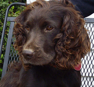 Boykin Spaniel - A wavy-coated female Boykin Spaniel
