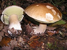 Two mushrooms with brown caps and light brown stems growing on the ground, surrounded by fallen leaves and other forest debris. One mushroom has been plucked and lies beside the other; its under-surface is visible, and is a light yellow color.