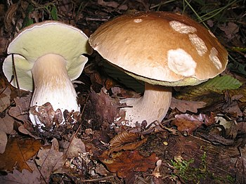 "Boletus, the ""King of Mushrooms"""