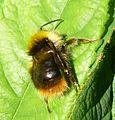 Bombus pratorum . Male. - Flickr - gailhampshire.jpg