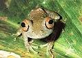 Bonn zoological bulletin - Boophis quasiboehmei.jpg