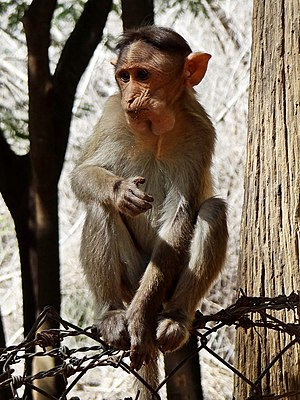 Monkey - Bonnet macaque