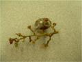 Botrytis on grapes.png