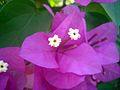 Bougainvillea flower 4.JPG