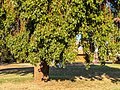 Brachychiton populneus Herbert St Boulia Central Western Queensland P1080646.jpg