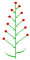 Brakteose beblätterung2 (inflorescence).PNG