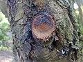 Branche coupée sur le tronc d'un cerisier sauvage à Grez-Doiceau 001.jpg
