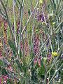 Brassica oleracea var. oleracea tallosyhojas 2010-4-11 CampodeCalatrava.jpg