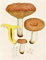 Bresadola - Agaricus theiogalus.png