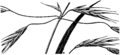 Bromus carinatus HC-1950.png