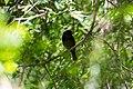 Bronzed cowbird (46954922964).jpg