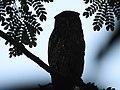 Brown Fish Owl Ezhimala.jpg