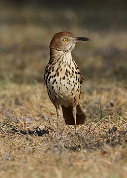 Brown Thrasher (66876145).jpeg