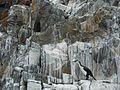 Bruny Island Black-Faced Cormorants.jpg