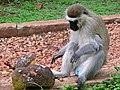 Budgett's Tantalus Monkey (Chlorocebus tantalus budgetti) male eating jackfruit (17542356113).jpg
