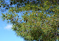 Buds of Turkish pine 03.JPG