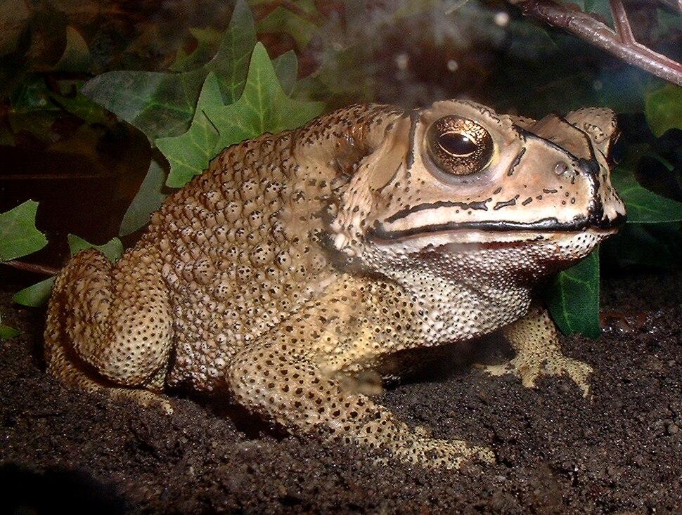 Bufo melanostictus