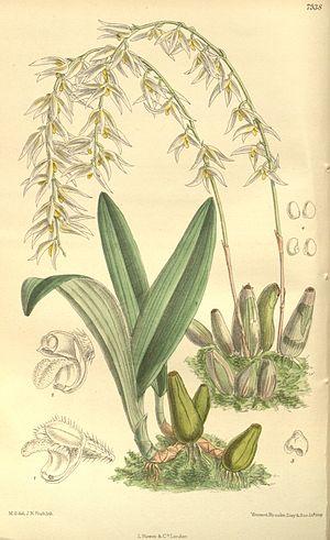 National symbols of Myanmar - Image: Bulbophyllum auricomum Curtis' 130 (Ser. 3 no. 60) pl. 7938 (1904)
