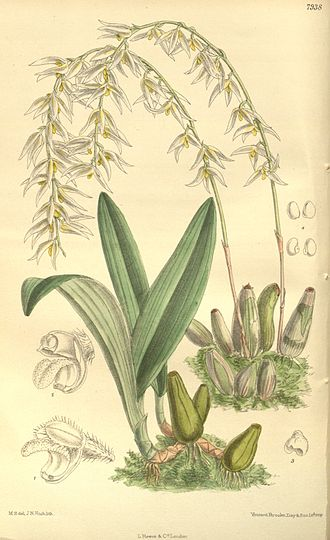 National symbols of Myanmar - Image: Bulbophyllum auricomum Curtis' 130 (Ser. 3 no. 60) pl. 7938 (1904)