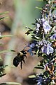 Bumblebee Flying to Lavender (8622964156).jpg