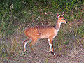 Bushbuck female.jpg
