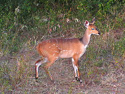 meaning of bushbuck
